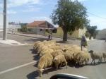 pásztorlány.jpg